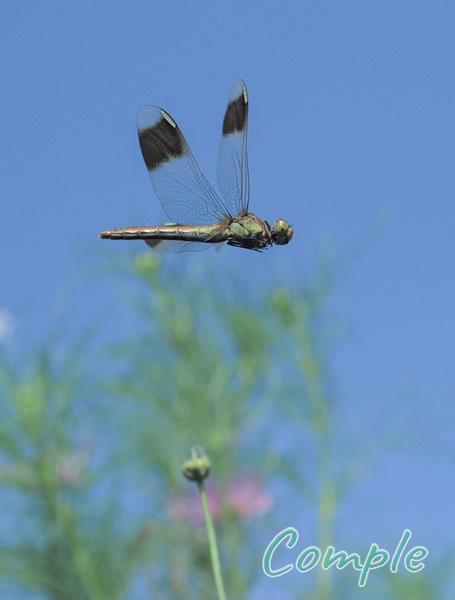飛ぶトンボ