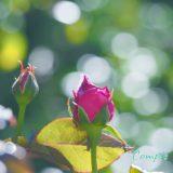 バラの花カメラ教室